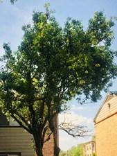 Pear Tree at Listing #139132